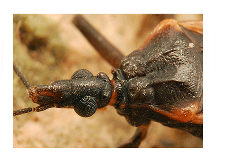 Kissing Bug Photos